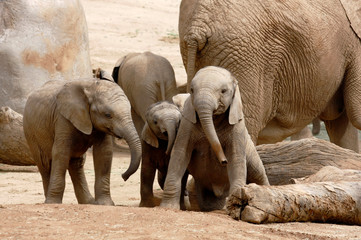Baby African Elephants Playing Together Next to an Adult Female