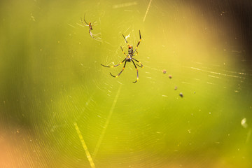 Golden Orb Spider resting on its web during the daytime.