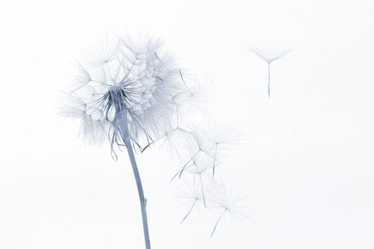 dandelion and its flying seeds on a white background