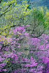Printed roller blinds Purple Wild Dogwoods and Redbuds are blooming together in the forest.