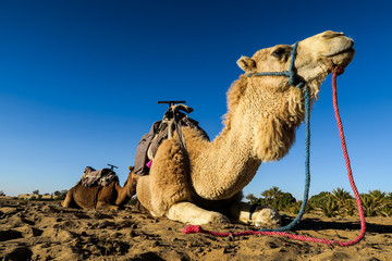 camel in the desert, photo as background