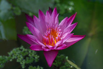 Wall Murals Water lilies Close-up pink lotus water lily flower