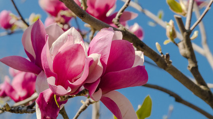 Tulip tree luxuriant flowering on the blue sky background.Pink magnolia flowers into the wind.New leaves begin to unfurl.