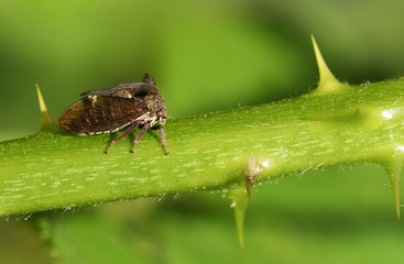 A beautiful Horned Froghopper (Centrotus cornutus) walking down the stem of a blackberry plant.