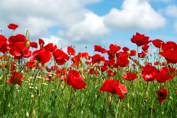 Flowers Red poppies blossom on wild field. Beautiful field red poppies with selective focus. soft light. Natural drugs. Glade of red poppies. Lonely poppy. Soft focus blur - Image