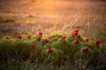 Wild peony is thin-leaved (Paeonia tenuifolia), in its natural environment. Bright decorative flower, popular in garden landscape design - selective focus.