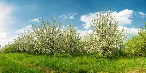 Blossoming apple garden in spring - banner
