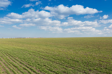 agricultural land of young wheat and blue sky with clouds