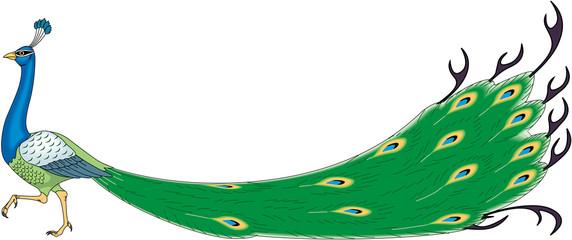 Peacock Strutting Vector Illustration