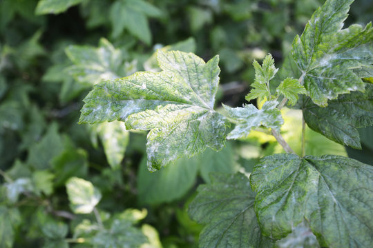 Black currant diseases. Downy Mildew. American gooseberry mildew and powdery mildew can infect the leaves and shoot tips, and botrytis may cause the fruit to rot in a wet season