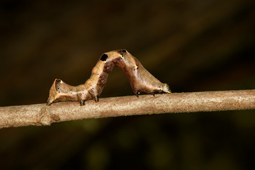 Image of brown caterpillar on a brown branch. Insect. Brown worm. Animal.
