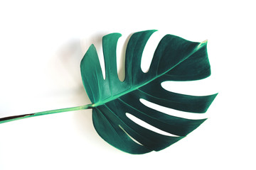 Monstera green leaf isolated on white background for summer and spring design element in blue toned.