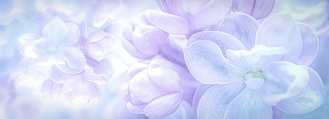 Beautiful purple lilac flowers blossom branch panorama background. Soft focus. Greeting gift card template. Pastel toned image. Nature abstract. Copy space