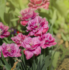 Terry fringed tulip Mascotte in garden