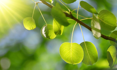 Spring branch of tree with fresh green leaves closeup.Nature background with sunlight.