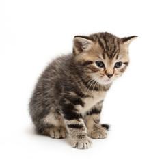 striped  kitten Scottish straight on white background