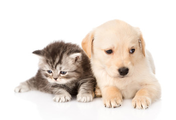 golden retriever puppy dog and british tabby cat lying together. isolated on white background Fototapete