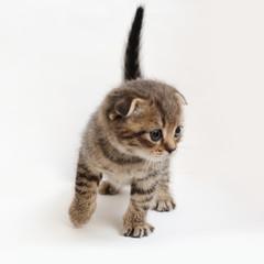 striped  kitten Scottish fold on white background
