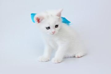 white kitten Scottish straight on white background