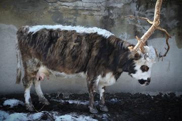 Closeup of beautiful hairy black and white jersey cow in the street of Mestia, Svaneti (Svanetia) region of Georgia
