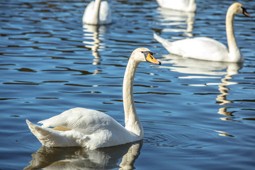 White swans swim on the lake