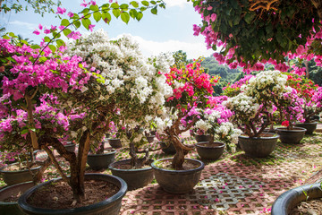 Beautiful bushes with flowers in pots, Flowers in Asia, miniature Japanese Sakura