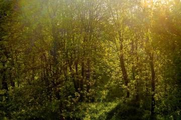 spring trees in bright sunlight