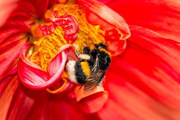 Red blossom with bumblebee