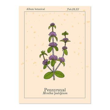 Pennyroyal Mentha pulegium , medicinal plant