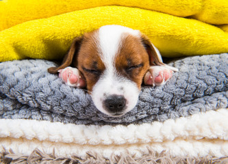 Funny Jack Russell Terrier puppy dog is sleeping under the blanket in bed. Dreaming sweet dreams.