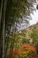 竹林と紅葉が始まりかけた山の裾野