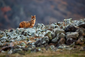 Golden jackal, Canis aureus, in mountains. Wildlife scene from Bulgaria. Wild animal.
