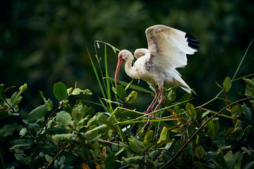 American white ibis (Eudocimus albus) landing on a tree. Wildlife scene from nature. Birdwatching in Costa Rica