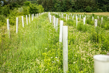 Baumschule in der Natur, kleine Bäume oder Stecklinge in Schutzhüllen oder Wuchshüllen