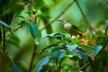 Female of Red-legged Honeycreeper (Cyanerpes cyaneus) beautiful bird from Costa Rica. Wildlife scene from rainforest. Bird eat nectar from flower.
