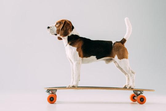 adorable beagle dog riding skateboard on grey background