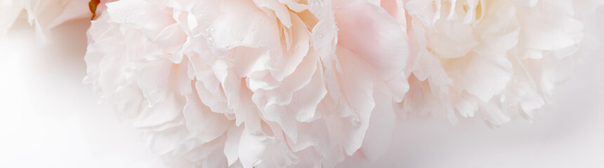 Romantic banner, delicate white peonies flowers close-up. Fragrant pink petals Wall mural