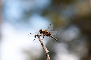 Brown dragonfly on a tree branch against a blue lake