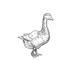 Goose Hand Drawn Vector Illustration. Abstract Domestic Poultry Bird Sketch. Engraving Style Drawing.