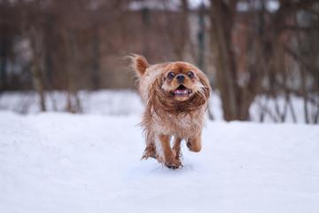ruby cavalier king charles spaniel in snow