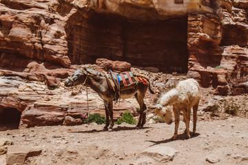 Mule at Petra Mountains in Jordania