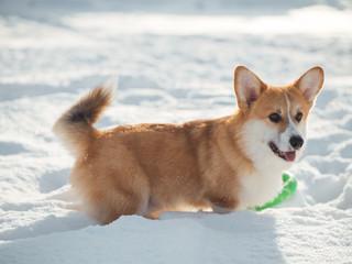 welsh corgi dog playing in winter park