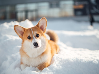 welsh corgi dog playing in winter park