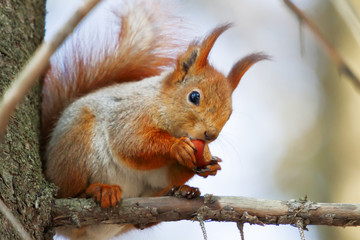 Ginger squirrel sits on a tree in the winter forest. Rodent eating a nut.