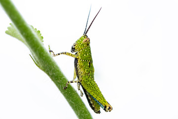 Green grasshopper in nature
