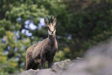 Chamois, Rupicapra rupicapra, in the forest. Studenec hill, Czech Republic, Animal from Alp. Wildlife scene with animal, Chamois, stone animal.