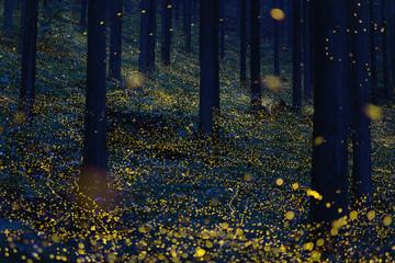 Japanese fireflies (Luciola parvula) flying around the trees (part 1)