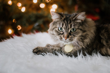 Cute Cat at Home during Christmas