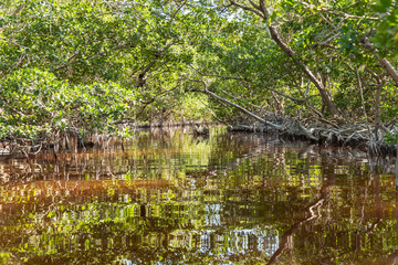 Green mangrove in Mexico. Water ecosystems found in Yucatan, Mexico