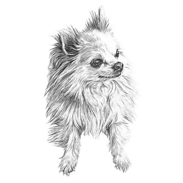 Illustration of handsome dog isolated on white background. Mittel German Spitz. Small Dog Breeds. Realistic Black and White Drawing of a puppy. Animal art collection. Design template